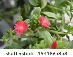 Beautiful Aptenia Cordifolia...