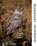 European Eagle Owl Perching On...