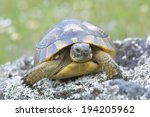Spur Thighed Turtle  Testudo...