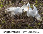 Snowy Egrets Nesting  Boyton...