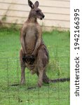 Male Kangaroo Watching For...