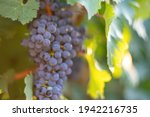 Ripe Blue Grapes Growing In...