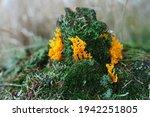 Yellow Edible Coral Mushroom ...