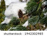 Branch Of Silver Blue Picea...