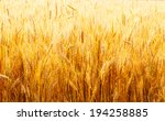 Yellow Wheat Field Close Up In...