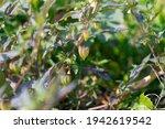 tomatillos ripening on the... | Shutterstock . vector #1942619542