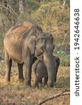 Small photo of Asiatic Tusker and Baby Elephant