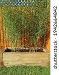 Green Bamboo Plants In A...