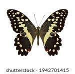 Citrus Swallowtail Butterfly...