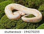 Lambent Albino Python