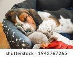 Basset Hound Puppy Sleeps In...