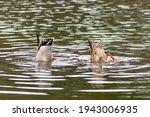 Dabbling Mallard Duck Couple...
