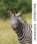 Cheaky Burchell's Zebra Pulling ...