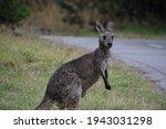 A Female Eastern Grey Kangaroo  ...