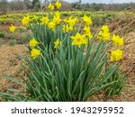 Bright Yellow Daffodils On A...