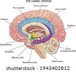 medical illustration shows the... | Shutterstock .eps vector #1943402812