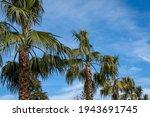 Crown Palm Trees Washingtonia...