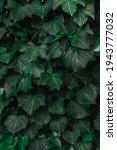 green ivy wall. beautiful... | Shutterstock . vector #1943777032