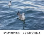 Seagull Floating In Water....