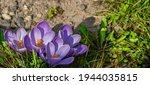 Purple Crocus  Crocus Sativus   ...