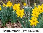 Yellow Daffodils Blooming In...