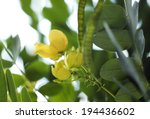 Bean Pod And Flower Yellow...