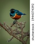 Superb Starling Perches On...