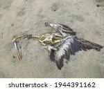 A Dead Pelican On A Beach In...
