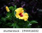 Yellow Hibiscus Red Center With ...
