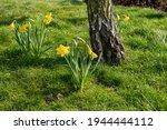 Yellow Daffodils In Full Bloom...
