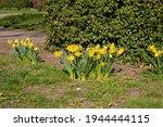 Yellow Daffodils Growing In...