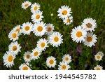 Chamomile Flowers    Daisy...