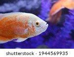 Oscar Fish Under Water Aquarium