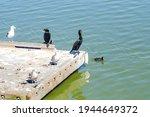Several Cormorants In Fremont...