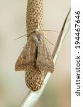 Small photo of Moth Agrochola circellaris on a plant