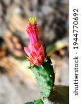 Green Cactus Has Red Flowers...