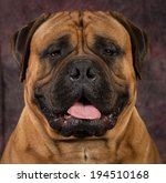 bullmastiff male portrait on... | Shutterstock . vector #194510168