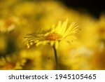 Doronicum Yellow Flowers In The ...