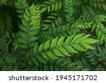 Indian Curry Leaf Plant Also...