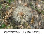 Close Up  Large Seedhead...
