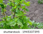 Red Currant. Beautiful...