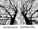 Small photo of Two big copper beech tree tops (Fagus sylvatica f. purpurea) on a cloudy winters day in Iserlohn Sauerland Germany with detailed ramification, branch and twig silhouettes contrasting black and white .