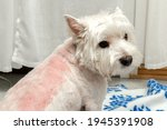 Small photo of West highland white terrier after trimming. Trimmed westie. White dog. Incorrect trimming. Bad trimming. Skin irritation after trimming. Dog grooming.