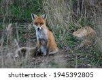 A Feral European Red Fox...