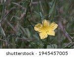 Yellow Flower Blooming Of Luffa ...