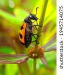 Black Orange Beetle Resting On...