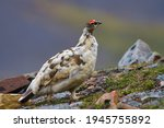 Rock ptarmigan somewhere in the Svalbard tundra