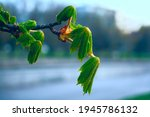 Young Leaves And Branches Of A...