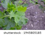 Red Currant. Spring Green...