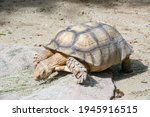 The African Spurred Tortoise...